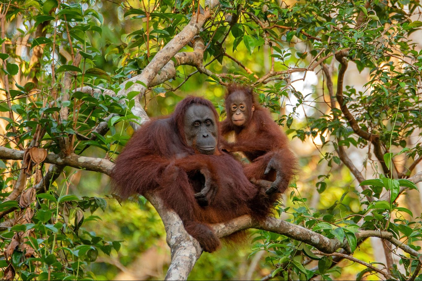 orangutan mother holding her child